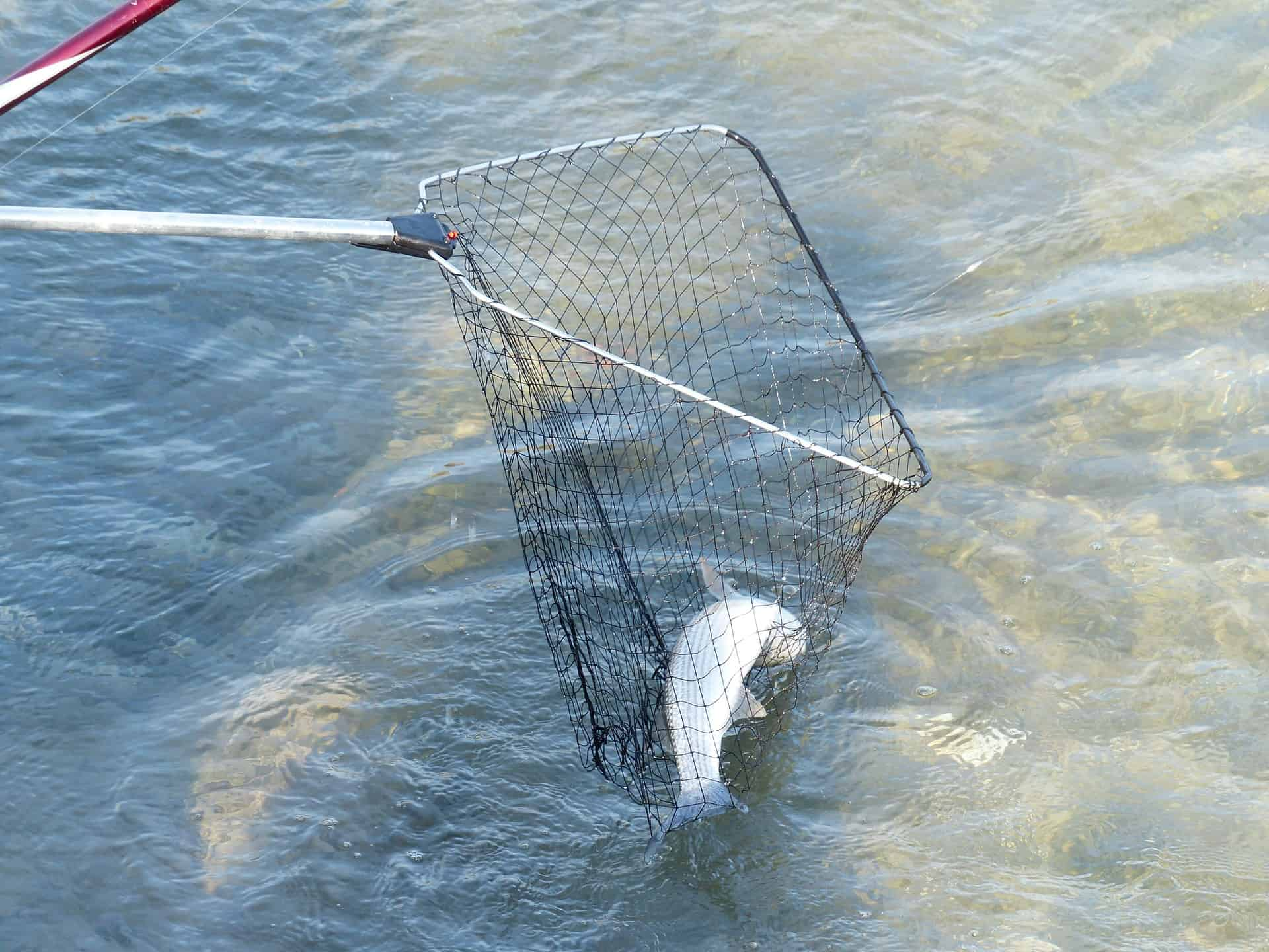 landing a fish with a net